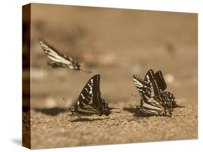 Swallowtail Butterflies Drinking Water on a Road in the Forest-Phil Schermeister-Stretched Canvas Print