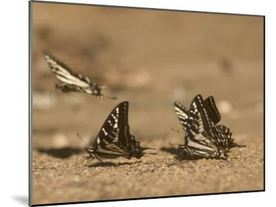 Swallowtail Butterflies Drinking Water on a Road in the Forest-Phil Schermeister-Mounted Photographic Print