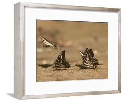 Swallowtail Butterflies Drinking Water on a Road in the Forest-Phil Schermeister-Framed Photographic Print