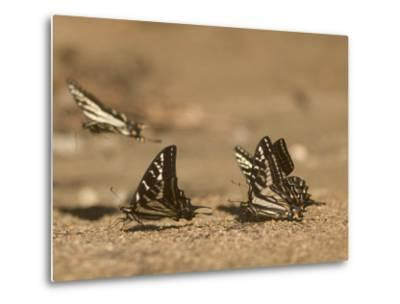 Swallowtail Butterflies Drinking Water on a Road in the Forest-Phil Schermeister-Metal Print
