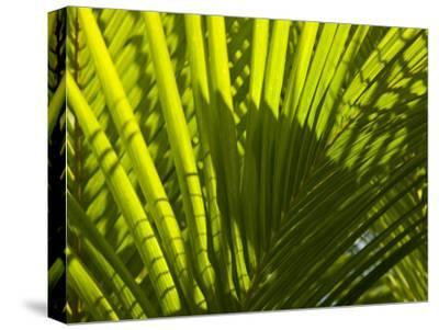 Close Up Detail of a Coconut Palm Frond-Beverly Joubert-Stretched Canvas Print