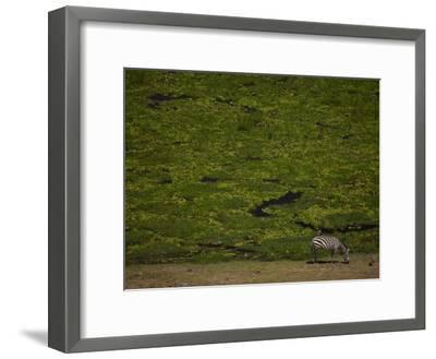 Zabra Grazing in a Green Landscape-Beverly Joubert-Framed Photographic Print