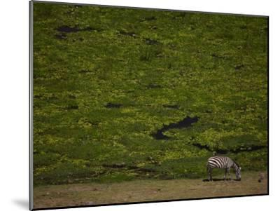 Zabra Grazing in a Green Landscape-Beverly Joubert-Mounted Photographic Print