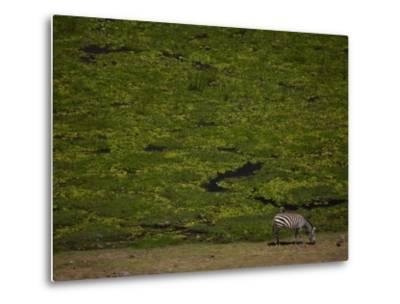 Zabra Grazing in a Green Landscape-Beverly Joubert-Metal Print