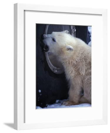 Polar Bear Bites at a Tire-Nick Norman-Framed Photographic Print