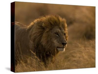 Male African Lion, Panthera Leo, in Golden Grasslands-Beverly Joubert-Stretched Canvas Print