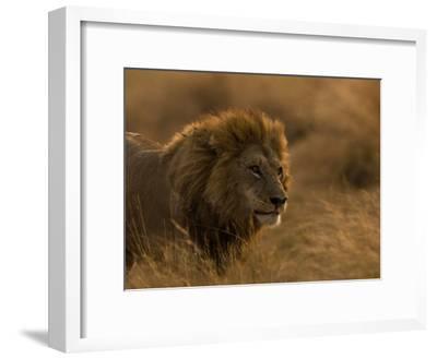 Male African Lion, Panthera Leo, in Golden Grasslands-Beverly Joubert-Framed Photographic Print
