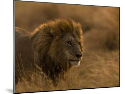Male African Lion, Panthera Leo, in Golden Grasslands-Beverly Joubert-Mounted Photographic Print