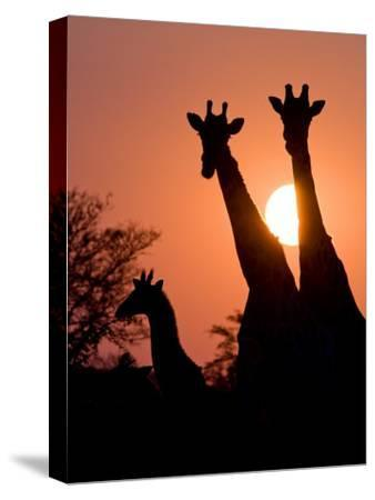 Two Adult Giraffes and a Baby Silhouetted by an Orange Sunset-Karine Aigner-Stretched Canvas Print