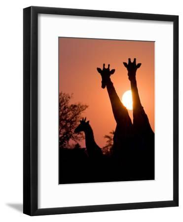 Two Adult Giraffes and a Baby Silhouetted by an Orange Sunset-Karine Aigner-Framed Photographic Print