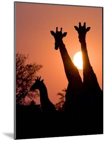 Two Adult Giraffes and a Baby Silhouetted by an Orange Sunset-Karine Aigner-Mounted Photographic Print
