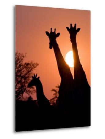 Two Adult Giraffes and a Baby Silhouetted by an Orange Sunset-Karine Aigner-Metal Print