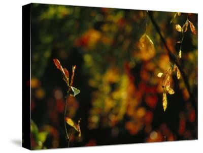 Leaves in a Fantastic Array of Autumn Colors-Raymond Gehman-Stretched Canvas Print