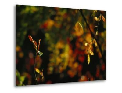 Leaves in a Fantastic Array of Autumn Colors-Raymond Gehman-Metal Print