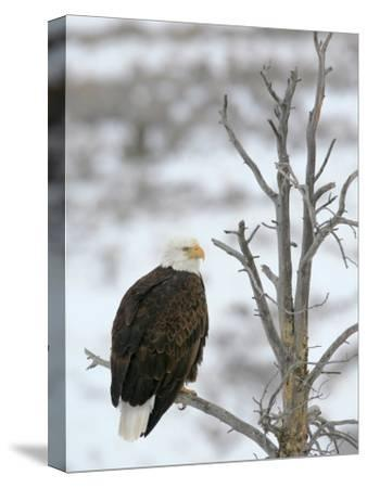 Bald Eagle Is Perched and Overlooking it's Surroundings in Winter-Drew Rush-Stretched Canvas Print