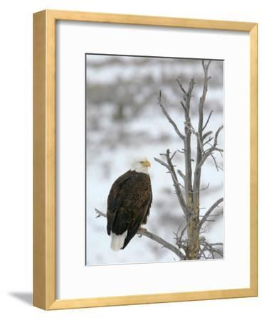 Bald Eagle Is Perched and Overlooking it's Surroundings in Winter-Drew Rush-Framed Photographic Print