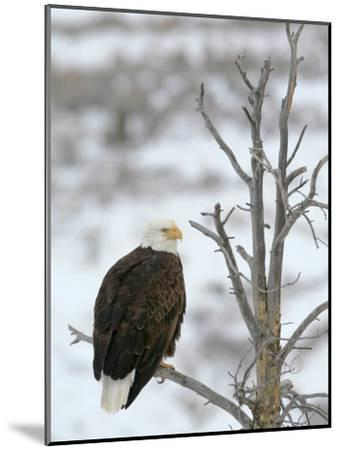 Bald Eagle Is Perched and Overlooking it's Surroundings in Winter-Drew Rush-Mounted Photographic Print