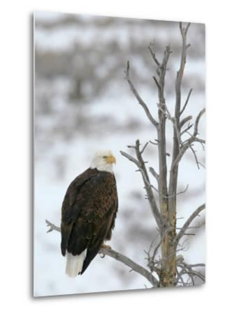 Bald Eagle Is Perched and Overlooking it's Surroundings in Winter-Drew Rush-Metal Print