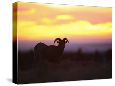 Young Bighorn Sheep Ram Basks in the Early Morning Sun in Wyoming-Drew Rush-Stretched Canvas Print