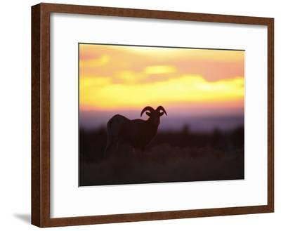 Young Bighorn Sheep Ram Basks in the Early Morning Sun in Wyoming-Drew Rush-Framed Photographic Print