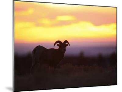Young Bighorn Sheep Ram Basks in the Early Morning Sun in Wyoming-Drew Rush-Mounted Photographic Print