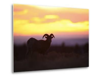 Young Bighorn Sheep Ram Basks in the Early Morning Sun in Wyoming-Drew Rush-Metal Print