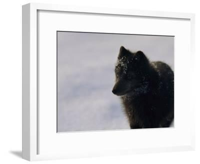 Portrait of a Blue Arctic Fox (Alopex Lagopus) in Svalbard-Norbert Rosing-Framed Photographic Print
