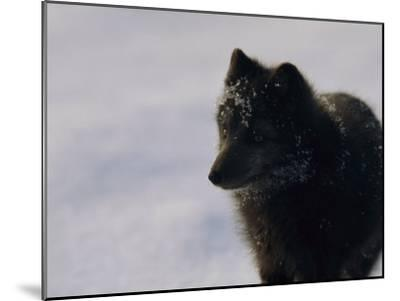 Portrait of a Blue Arctic Fox (Alopex Lagopus) in Svalbard-Norbert Rosing-Mounted Photographic Print