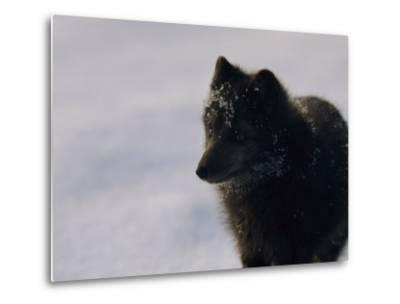 Portrait of a Blue Arctic Fox (Alopex Lagopus) in Svalbard-Norbert Rosing-Metal Print