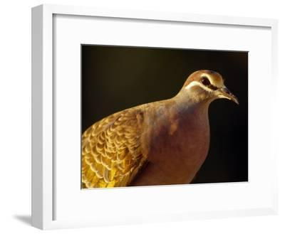 Delicate Features and Feather Plumage of the Common Bronzewing Pigeon-Jason Edwards-Framed Photographic Print
