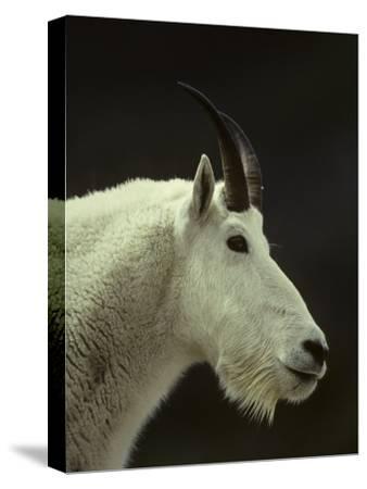 Mountain Goat Surveys its Montana Mountain Landscape-Michael S^ Quinton-Stretched Canvas Print