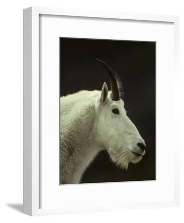 Mountain Goat Surveys its Montana Mountain Landscape-Michael S^ Quinton-Framed Photographic Print