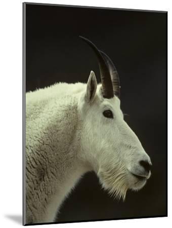 Mountain Goat Surveys its Montana Mountain Landscape-Michael S^ Quinton-Mounted Photographic Print