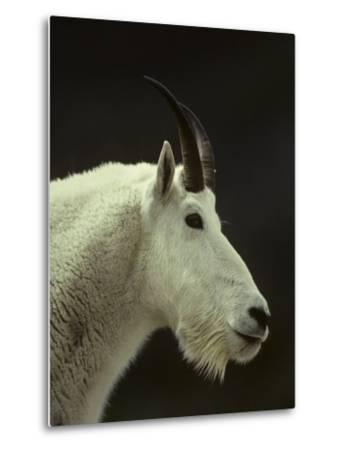 Mountain Goat Surveys its Montana Mountain Landscape-Michael S^ Quinton-Metal Print