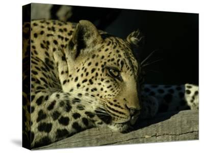 Close-up of Leopard Lying on a Tree Branch-Beverly Joubert-Stretched Canvas Print