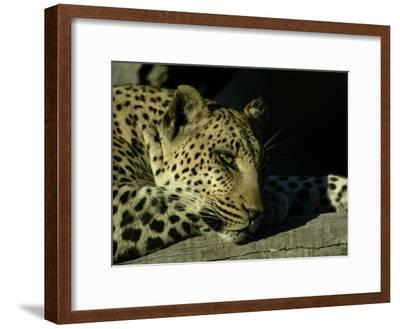Close-up of Leopard Lying on a Tree Branch-Beverly Joubert-Framed Photographic Print