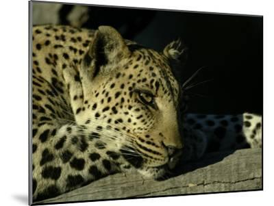 Close-up of Leopard Lying on a Tree Branch-Beverly Joubert-Mounted Photographic Print