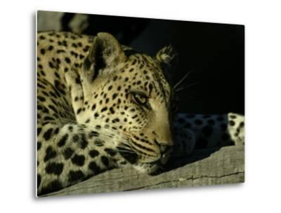 Close-up of Leopard Lying on a Tree Branch-Beverly Joubert-Metal Print