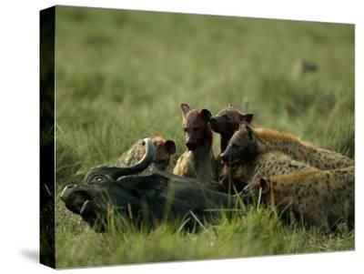 Spotted Hyenas (Crocuta Crocuta) Feed on a Buffalo-Beverly Joubert-Stretched Canvas Print