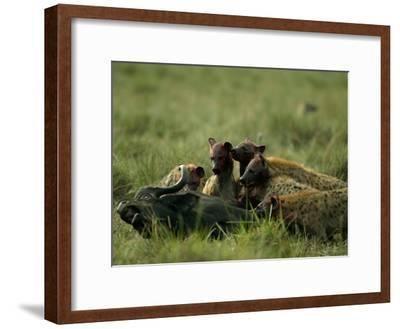 Spotted Hyenas (Crocuta Crocuta) Feed on a Buffalo-Beverly Joubert-Framed Photographic Print