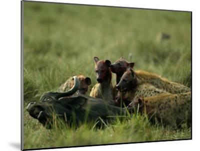 Spotted Hyenas (Crocuta Crocuta) Feed on a Buffalo-Beverly Joubert-Mounted Photographic Print