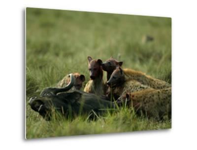 Spotted Hyenas (Crocuta Crocuta) Feed on a Buffalo-Beverly Joubert-Metal Print
