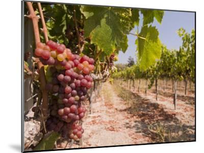 Grapes on the Vine in Monterey County-Richard Nowitz-Mounted Photographic Print
