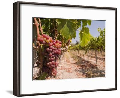 Grapes on the Vine in Monterey County-Richard Nowitz-Framed Photographic Print