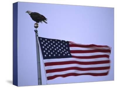 Bald Eagle Sits on a Flagpole Above a Fluttering American Flag-Michael Melford-Stretched Canvas Print