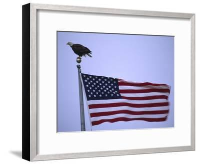 Bald Eagle Sits on a Flagpole Above a Fluttering American Flag-Michael Melford-Framed Photographic Print
