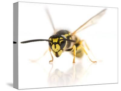 European Wasp Sitting in Studio with Wings Expanded About to Fly-Brooke Whatnall-Stretched Canvas Print