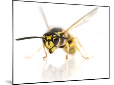 European Wasp Sitting in Studio with Wings Expanded About to Fly-Brooke Whatnall-Mounted Photographic Print
