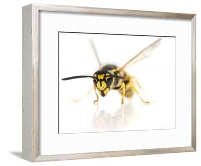 European Wasp Sitting in Studio with Wings Expanded About to Fly-Brooke Whatnall-Framed Photographic Print