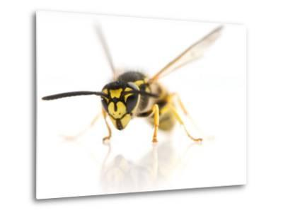 European Wasp Sitting in Studio with Wings Expanded About to Fly-Brooke Whatnall-Metal Print